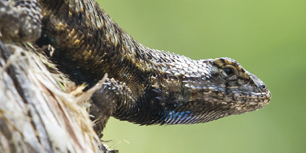 Image of Pocket Lizard